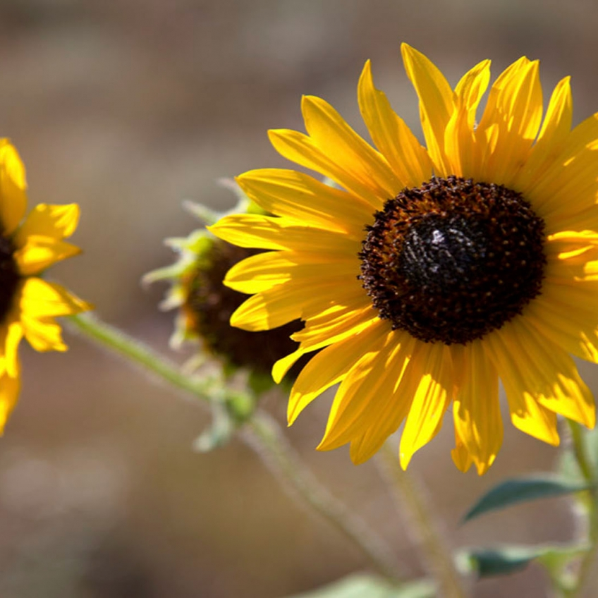 Omaha Photography | Sunflowers